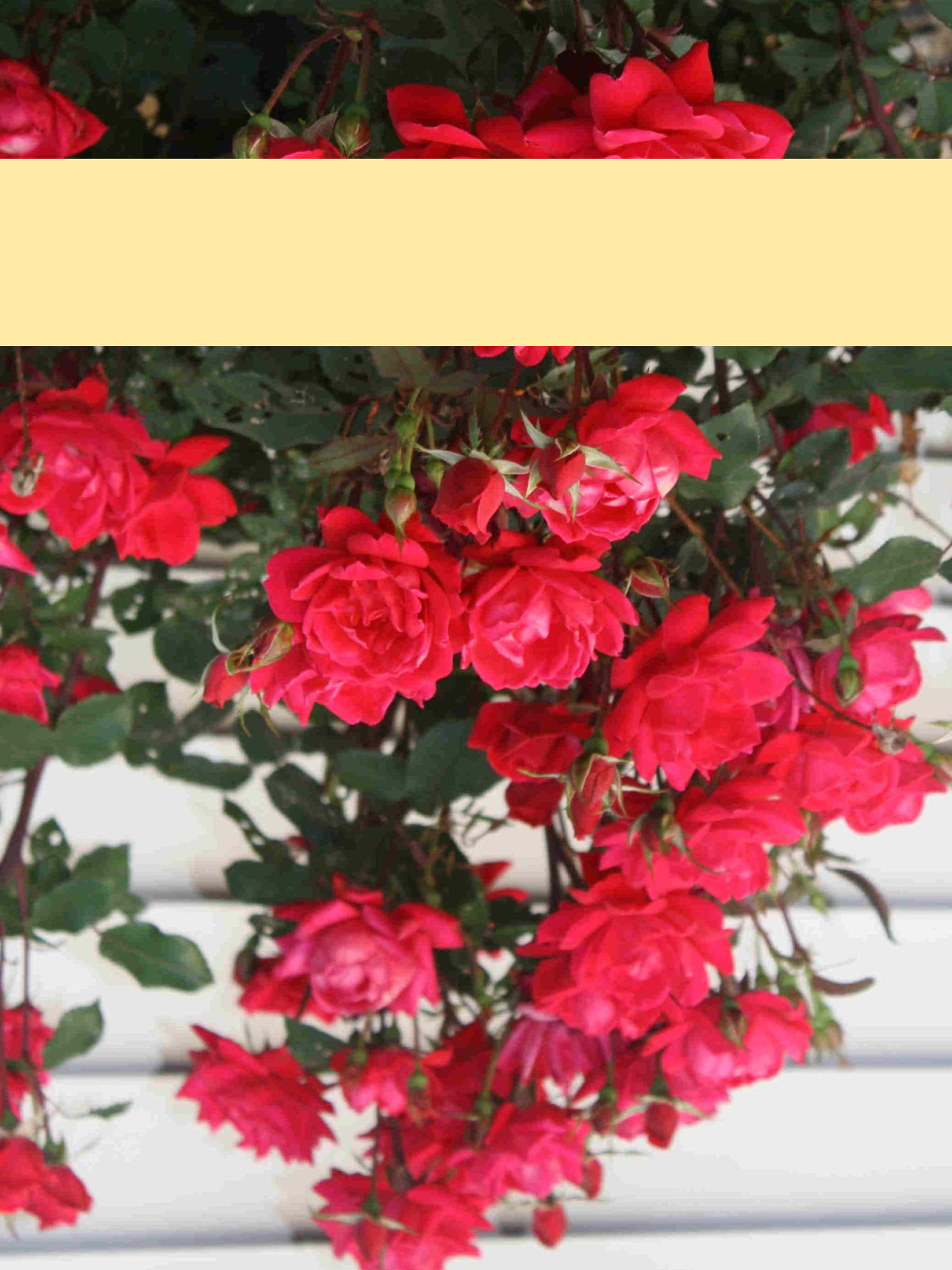 roses_yellowband